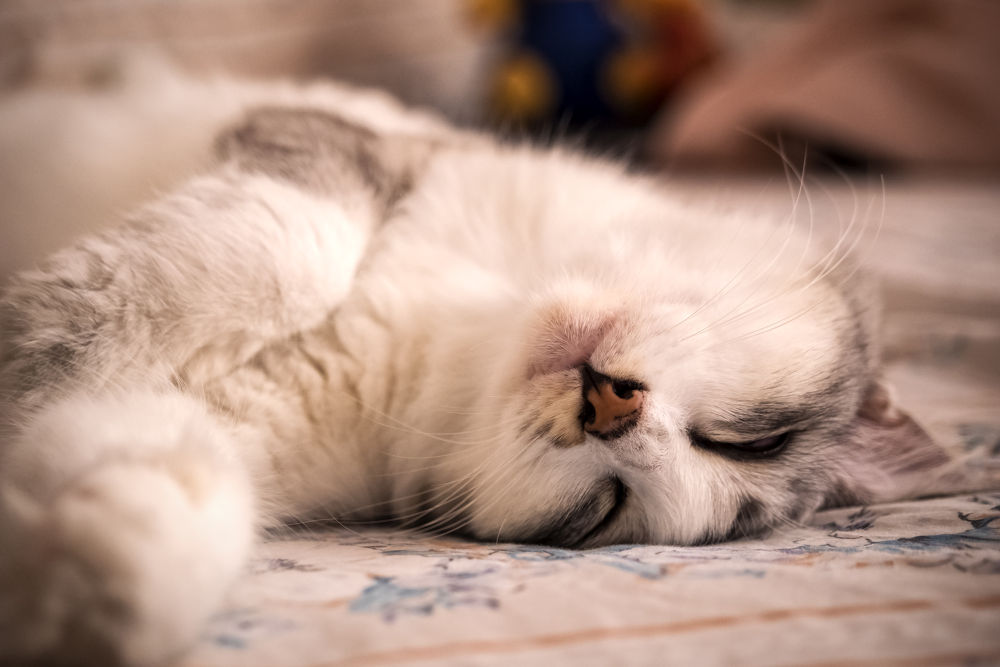 Lazy cat taking a nap. by simoncklee