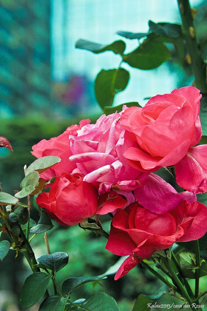 Roses by Kalau