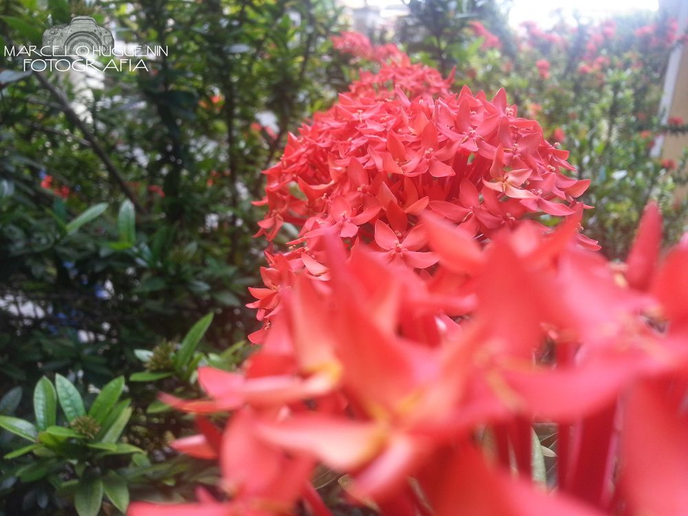 Red Flower by marcelo matos huguenin