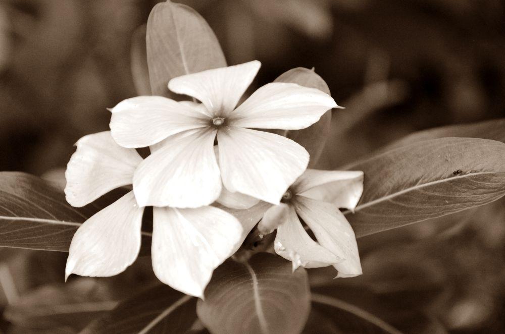 Florzinha que não conheço, mas que tem um monte aqui em casa. by gusthavoyoshimatsu