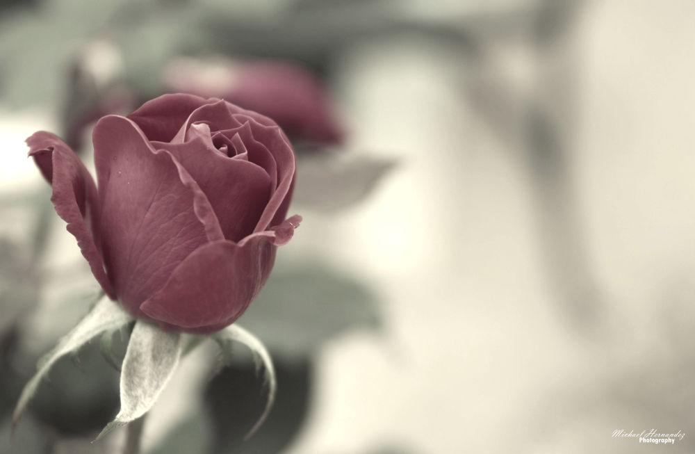 Rose by mikehernandez2591