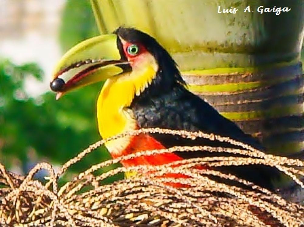 Tucano. by luisgaiga