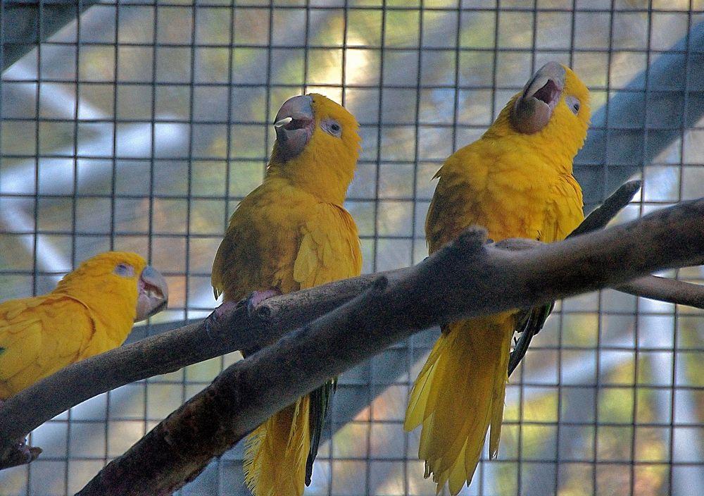 laughing parrots by soosmoos