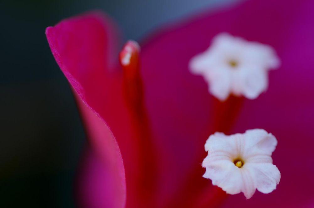 pink macro by hoseinghaffari