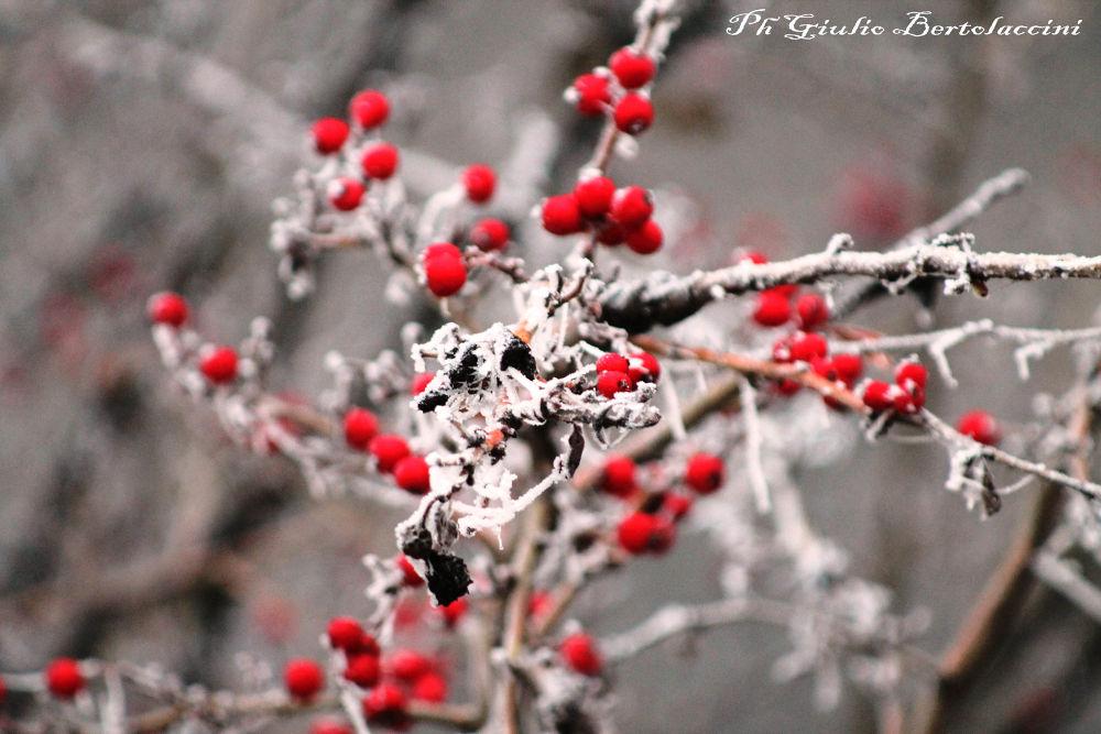 stamattina........... gelo e bacche rosse by giulio bertolaccini
