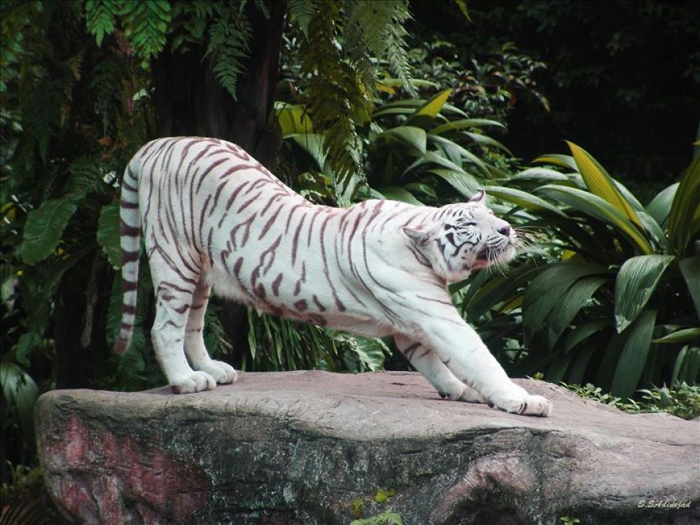 The white tiger is stretching by soheyl sadinejad