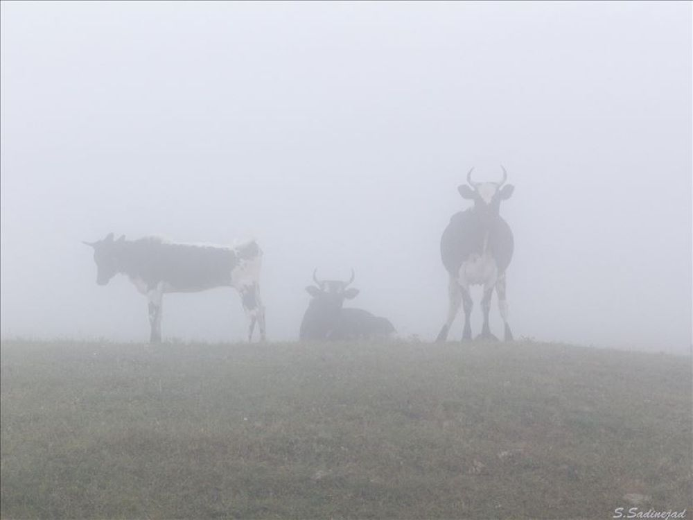 Cows in fog by soheyl sadinejad