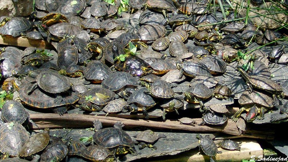 Turtle jam by soheyl sadinejad