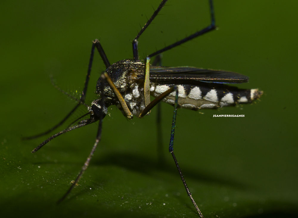 Mosquito by jeanpierrieagnes