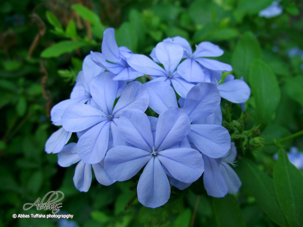little blue flowers  by AbbasTuffaha