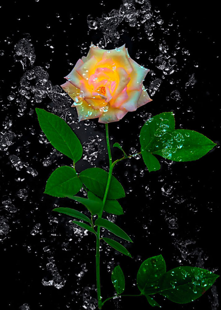Water Rose by moyaph