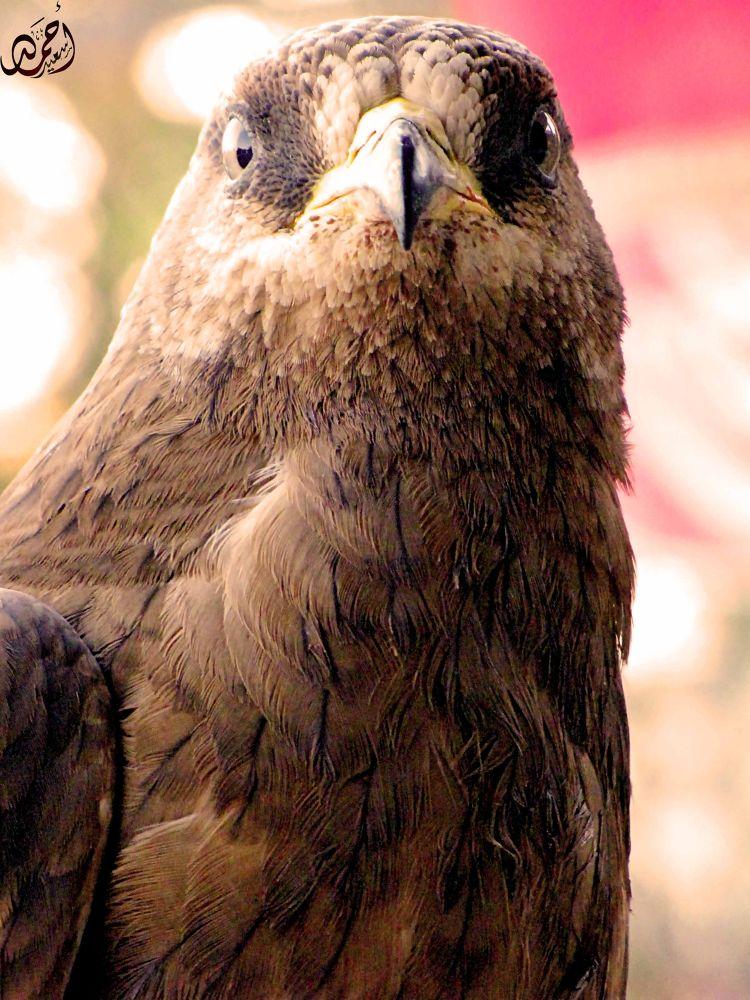 Eagle by Ahmed sa3ed Yoysef