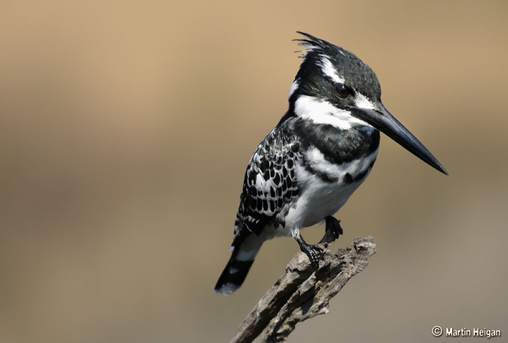 Pied Kingfisher by Martin Heigan
