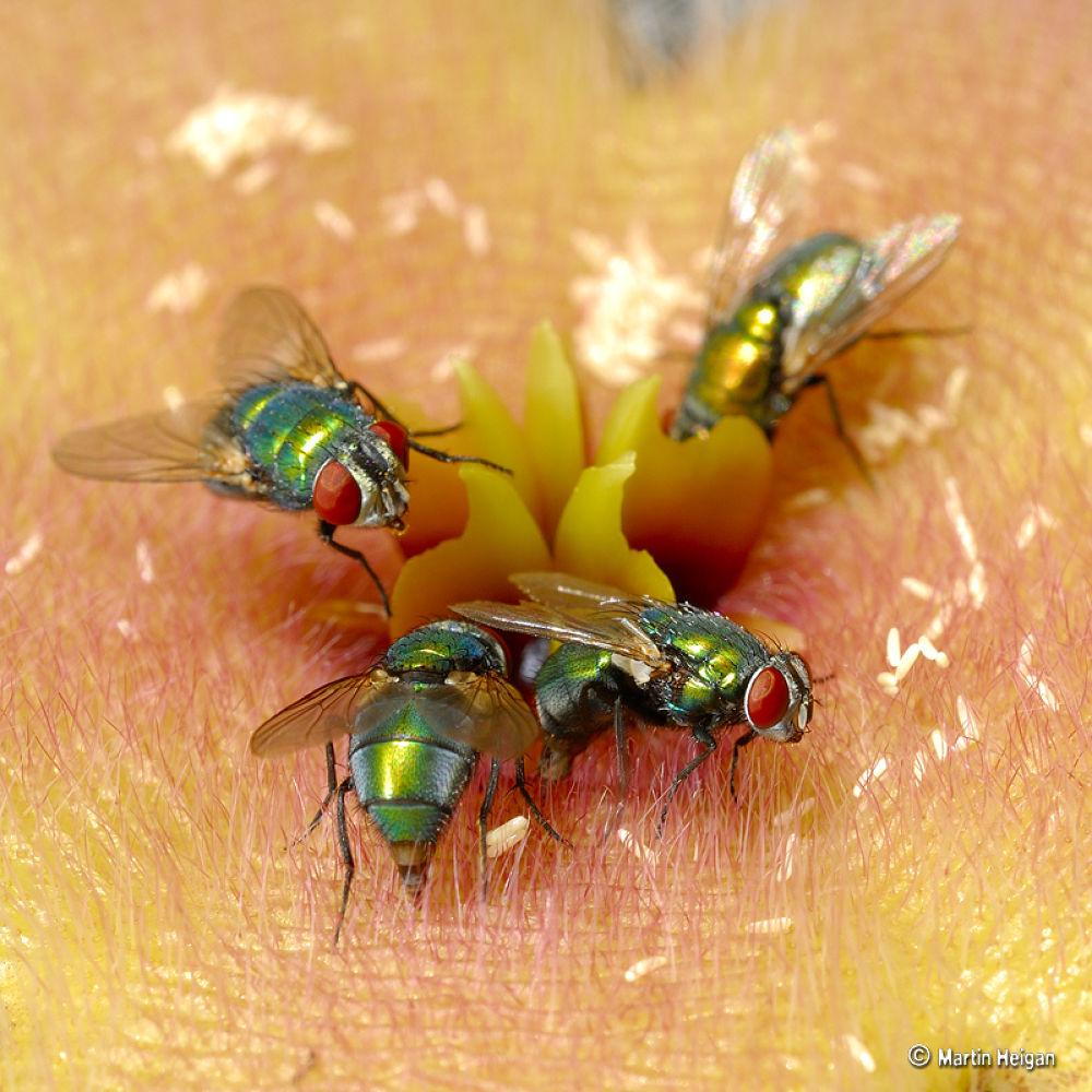 Blow flies pollinating a Stapelia grandiflora flower by Martin Heigan