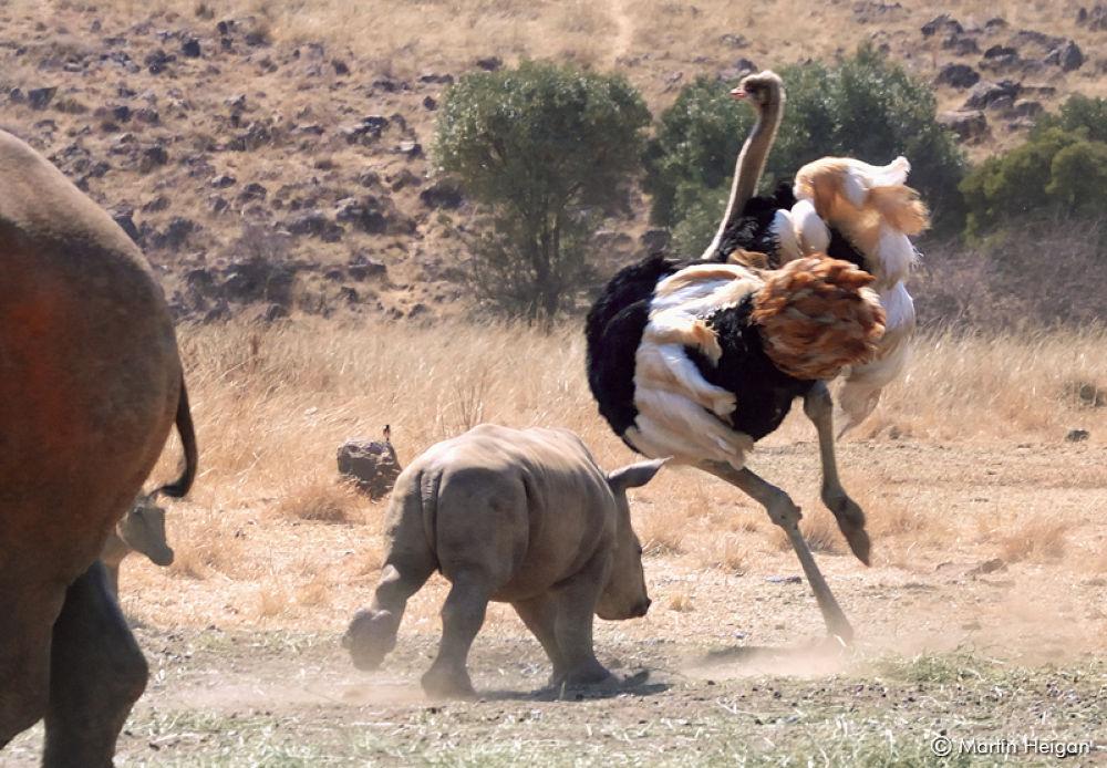 Mischievous little Rhino calf by Martin Heigan
