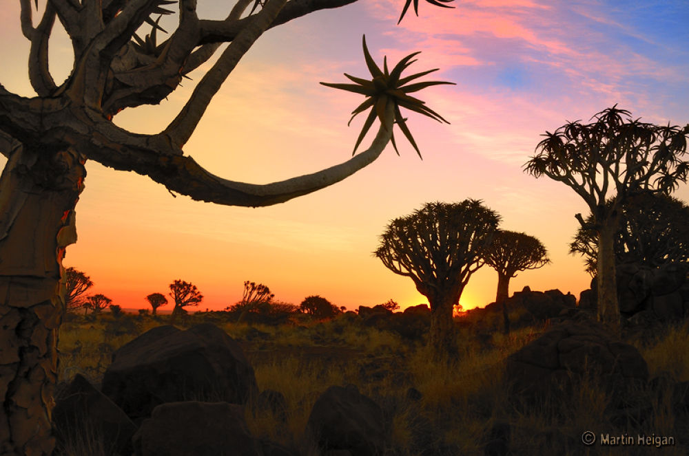 Quiver Tree Forest Sunset by Martin Heigan