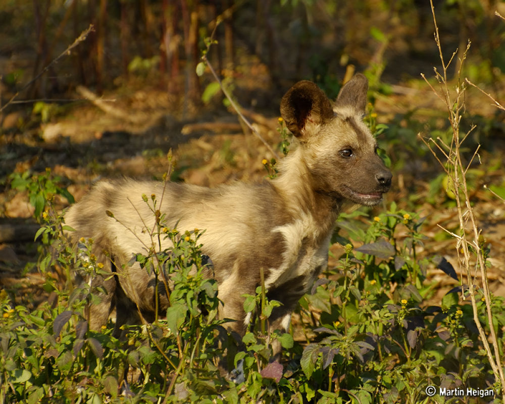 Endangered African Wild Dog puppy in the wild by Martin Heigan