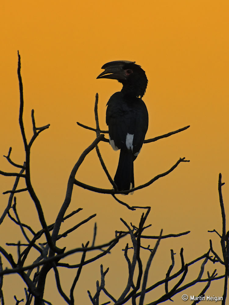 Photo in Nature #trumpeter #hornbill #bird #birds #avian #bushveld #south africa #martin #heigan #nikon #africa #wild #wildlife #nature #safari #african #southern africa #bush #veld #dawn #sun #sky #tree #ceratogymna #bucinator #boskraai #limpopo #kruger #park