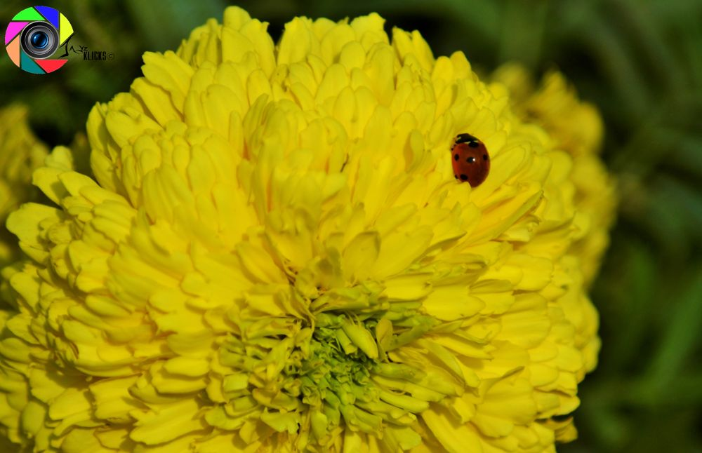 Photo in Animal #lady bird #insects #flower #nature #beauty