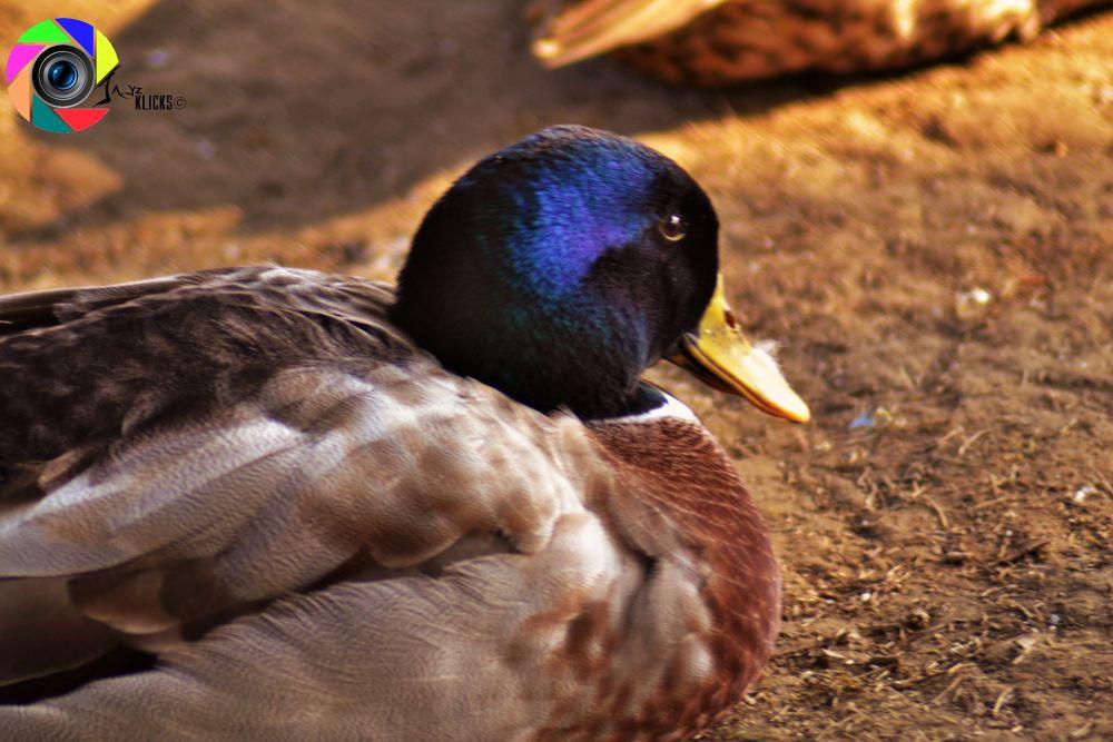 Duck by JAYz Klicks