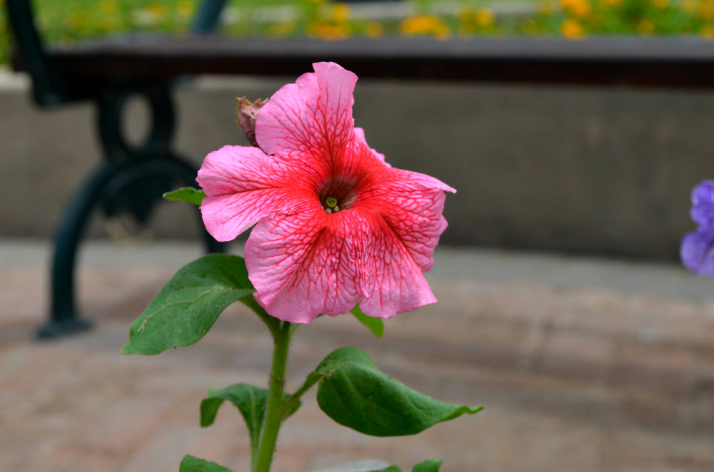 Photo in Nature #flor #rosada #nikon #like #reflex #beautiful #day #2014 #miraflores #lima
