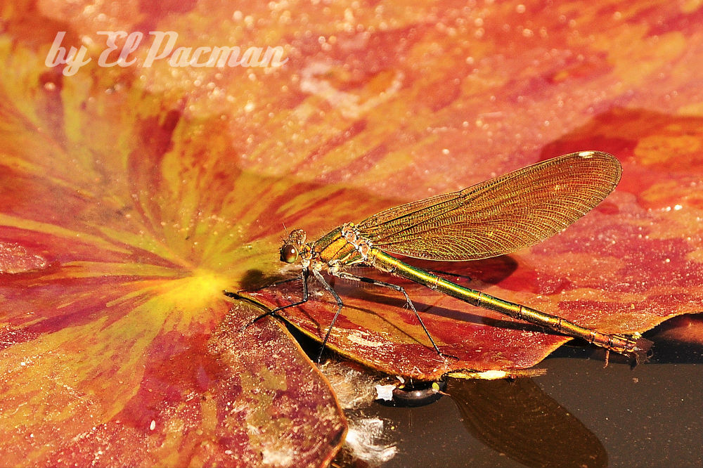 Dragonfly on water lily by El Barto