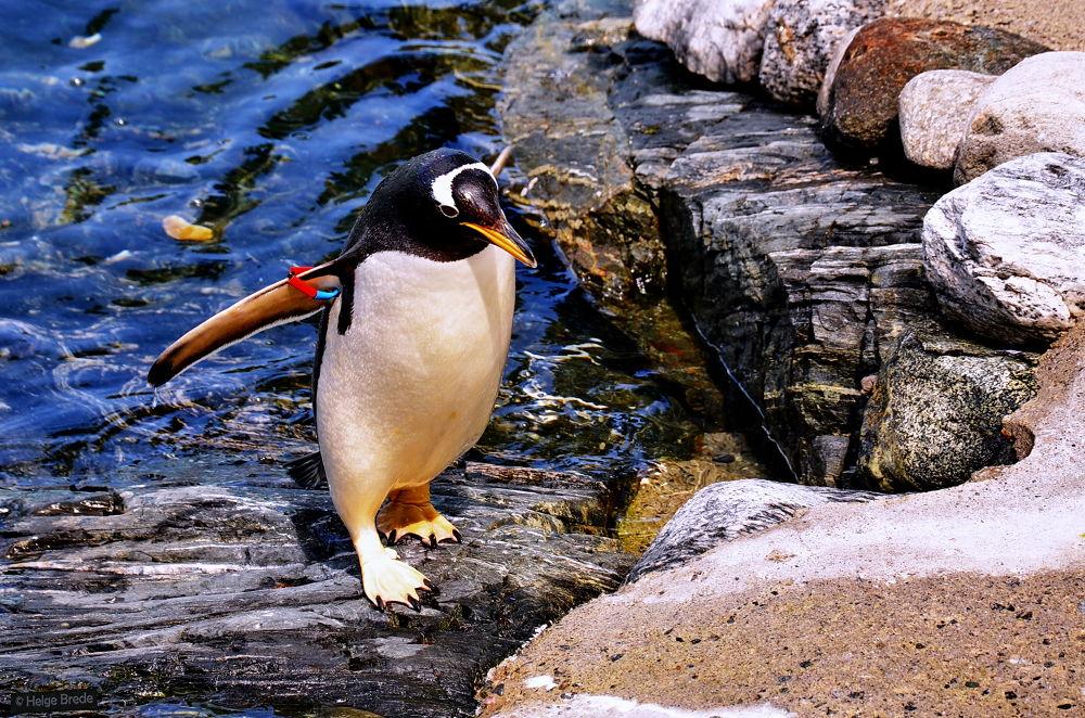 Penguin by helgebrede
