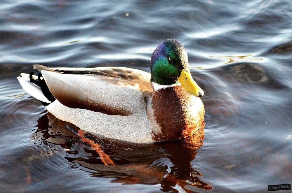 Duck by helgebrede