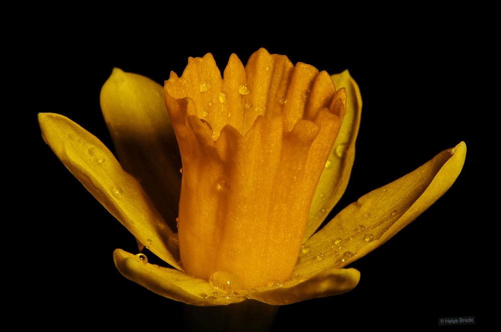 daffodil by helgebrede
