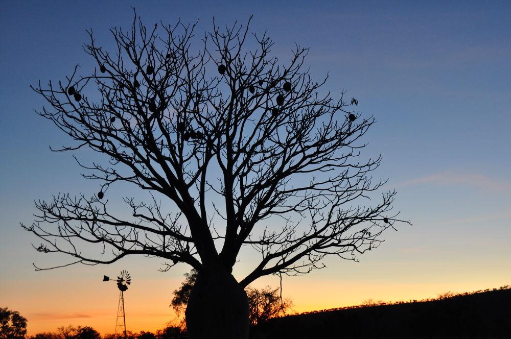 Boab and Windmill at Daybreak  by farmstaycampingaustralia