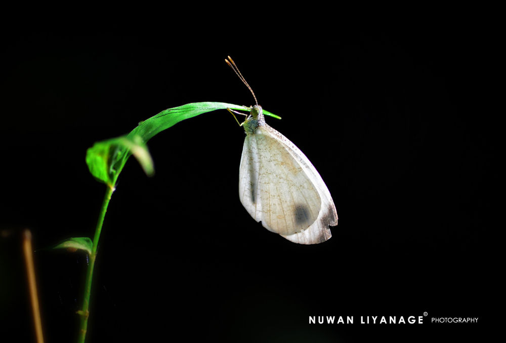 psyche butterfly by mlnuwan