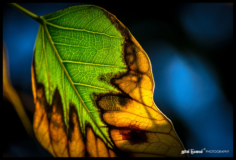 Dying Leaf of a ficus religiosa by mlnuwan