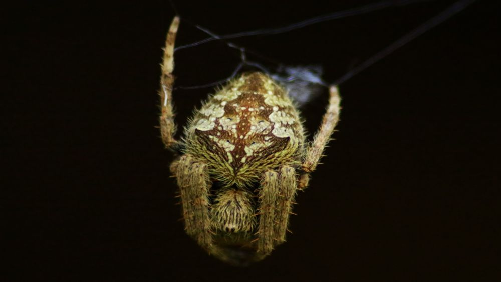 Orb Weaver by miguelwolve