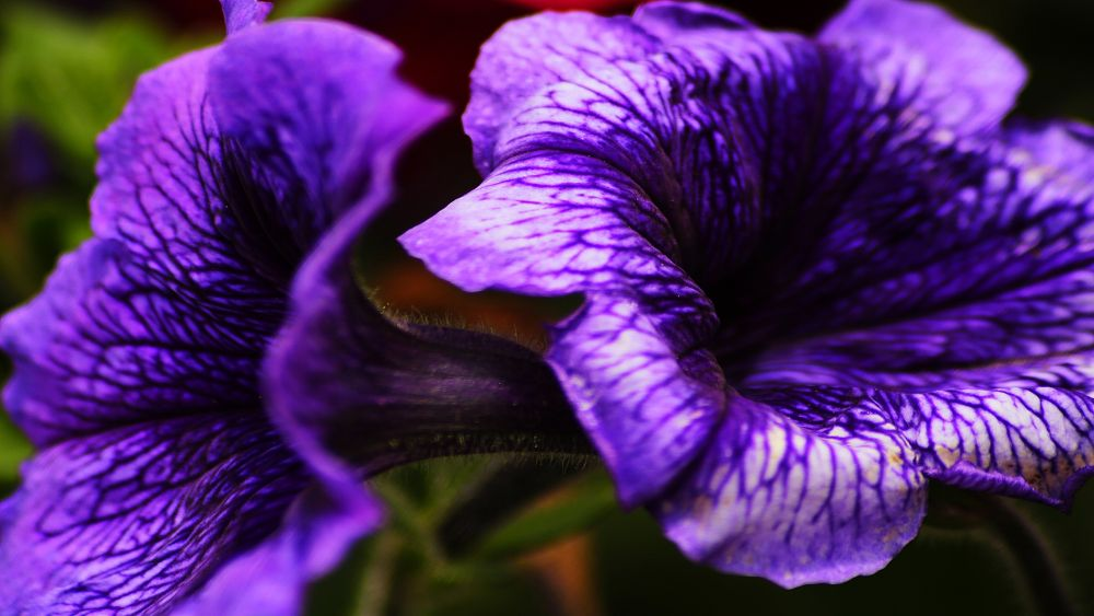 Purple by miguelwolve