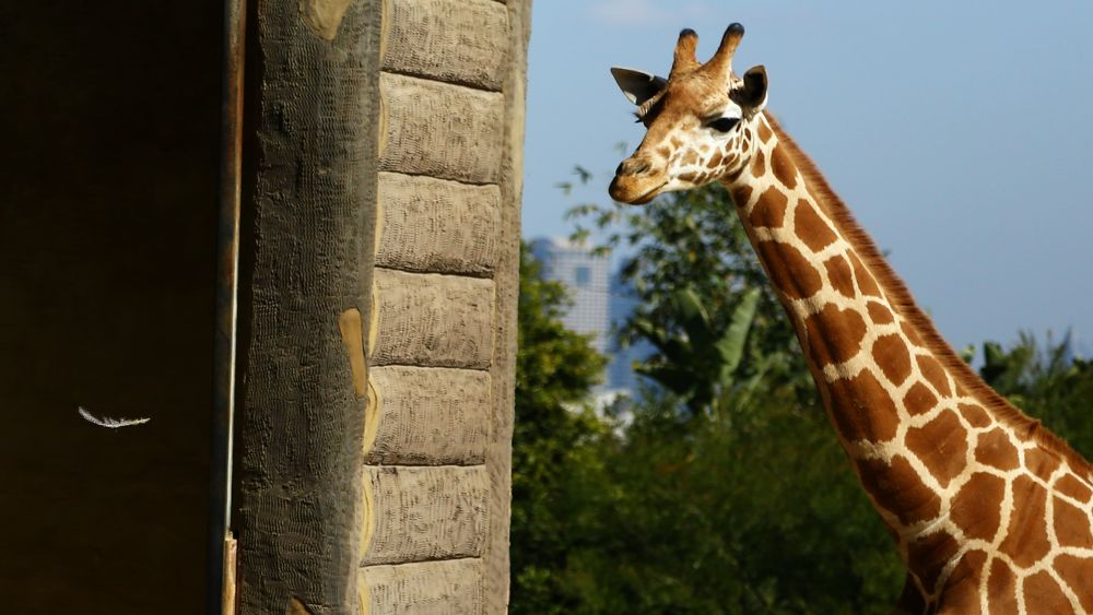 Giraffe and the Feather by miguelwolve