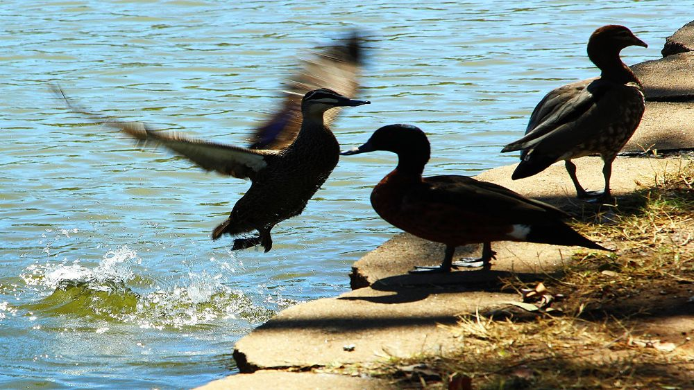 Duck Flight  by miguelwolve