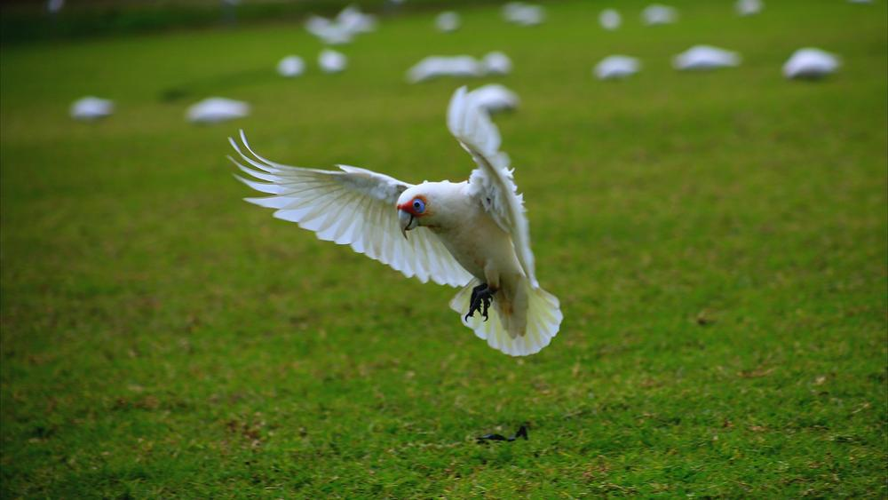 Galah by miguelwolve