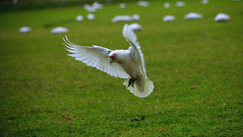 Photo in Animal #galah #bird #life #nature #flight #wings #google #youpic #natgeo