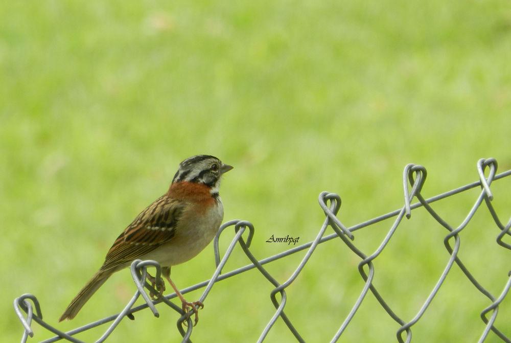 Tico-tico / Zonotrichia capensis / Rufous-collared Sparrow by letypqt