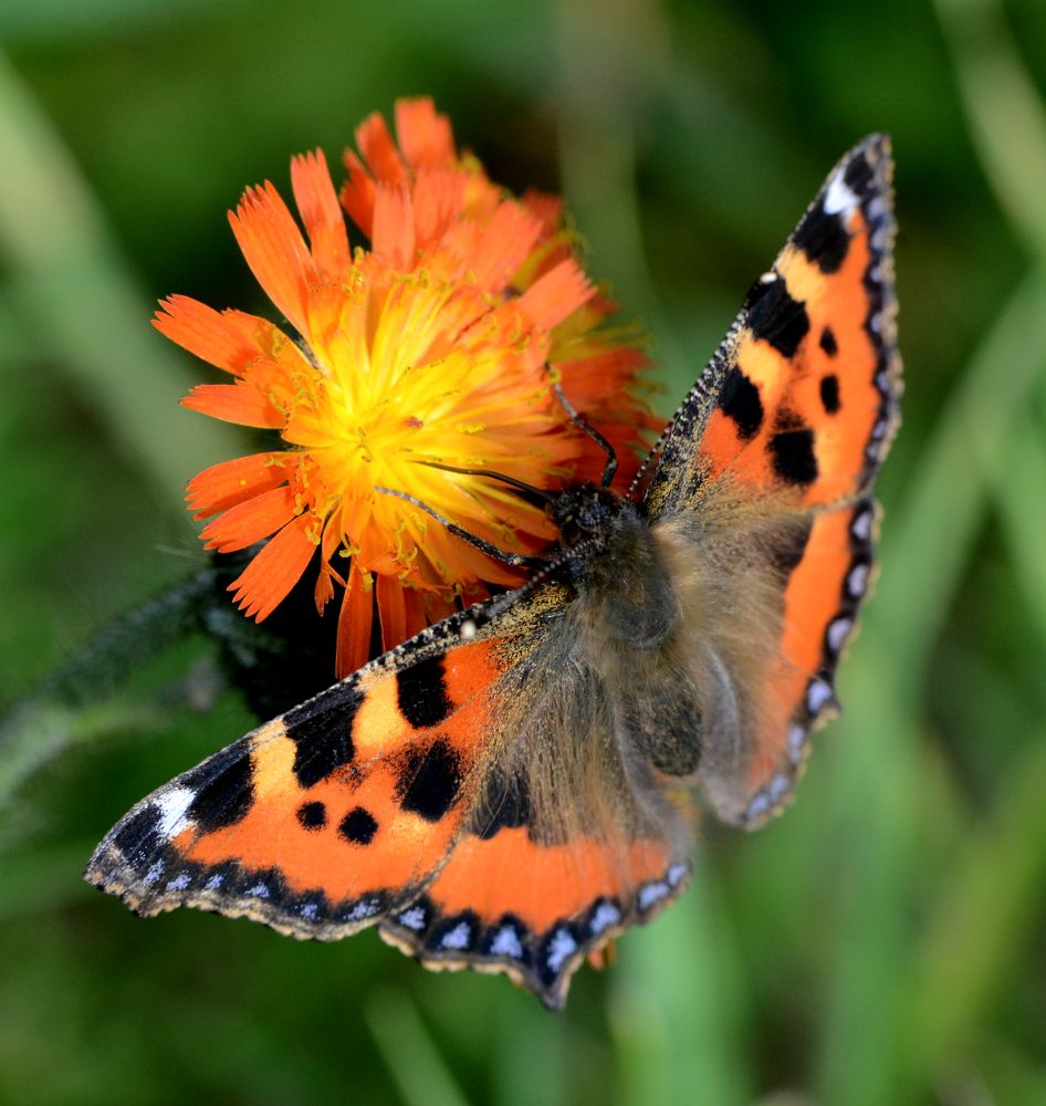 Red Admiral Butterfly by Angie Rumble