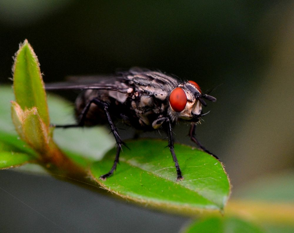 Red-eyed Fly by Angie Rumble
