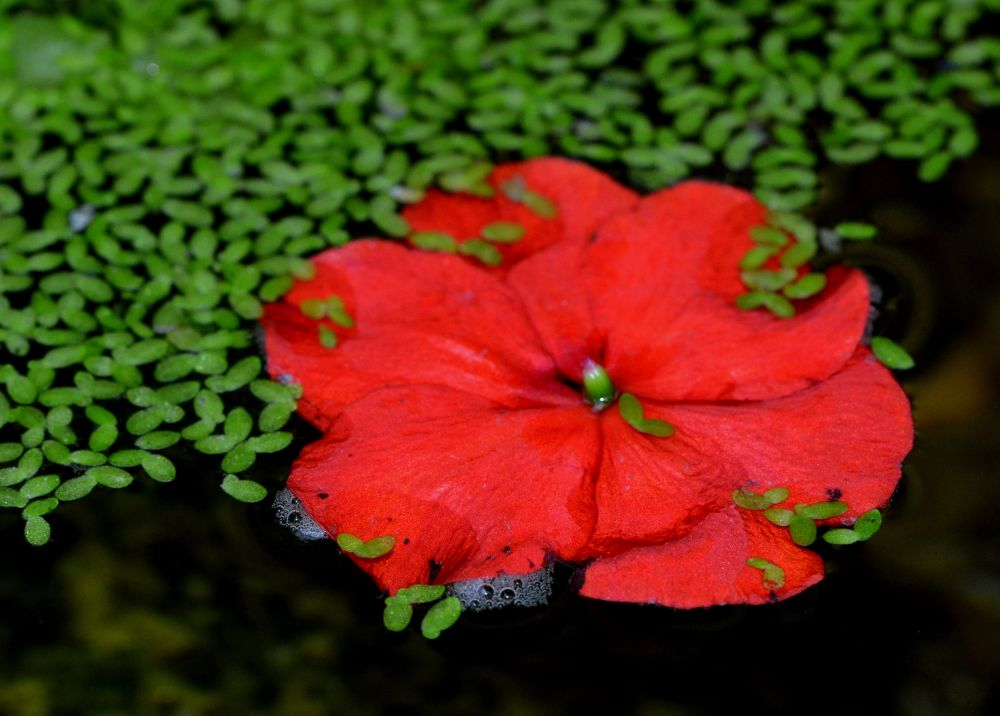 Pond Flower by Angie Rumble