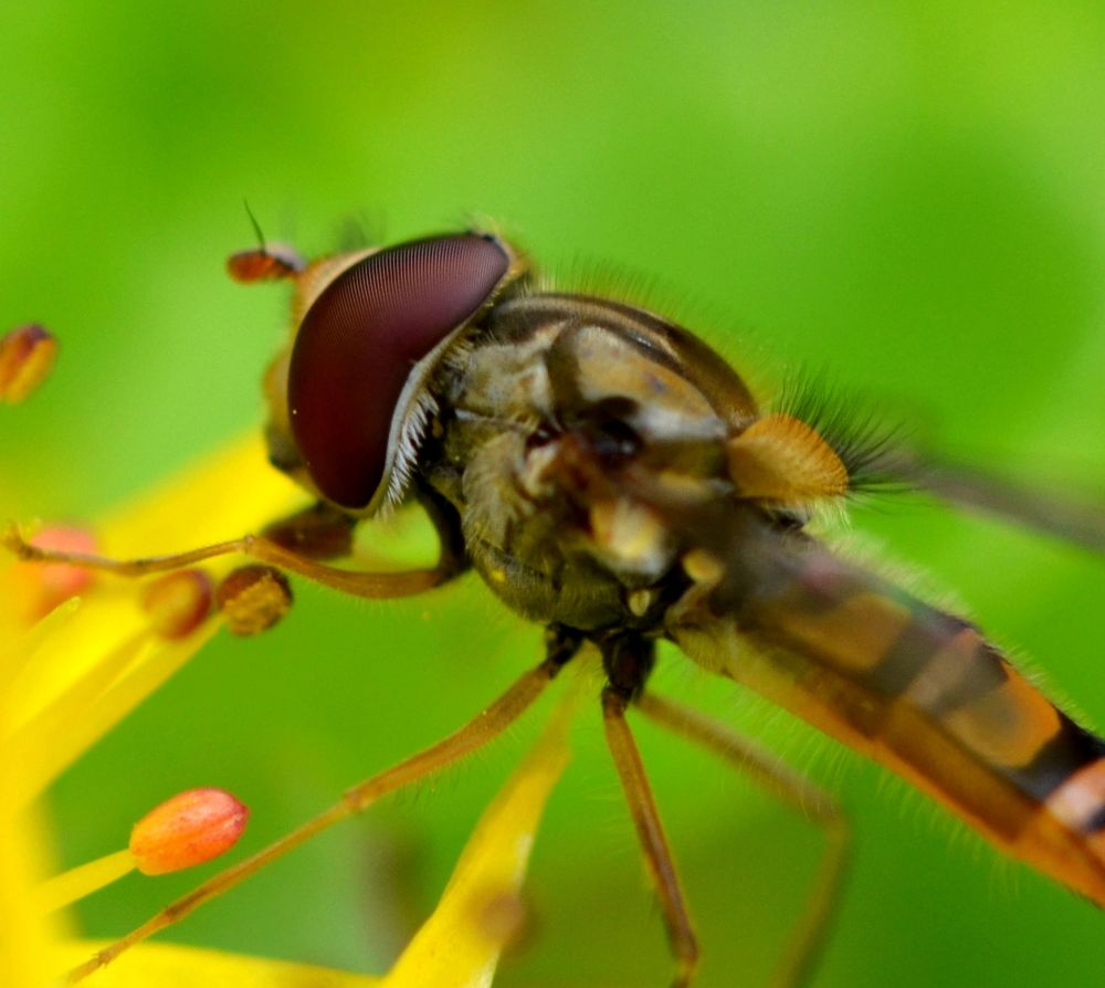Photo in Macro #hoverfly
