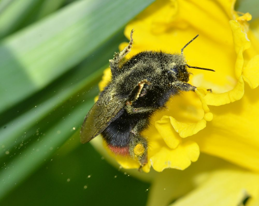 Pollen Coated Bee by Angie Rumble