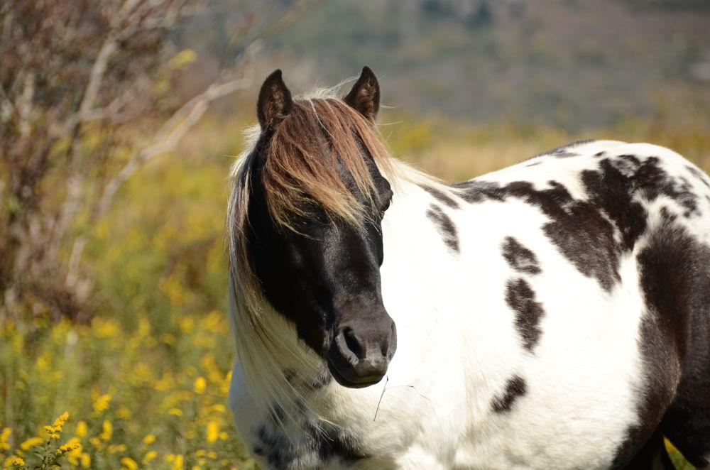 "DSC_1279 Band Stallion ""Jericho""  Fall 2013  Mount Rogers Virginia  USA by Elizabeth"
