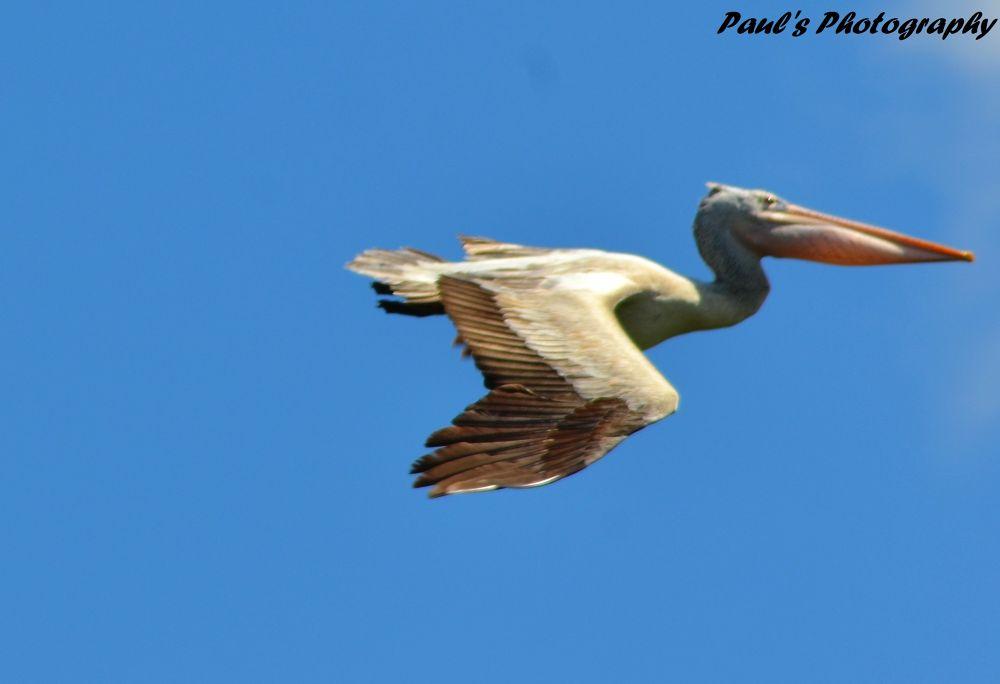 Its a Pelican Bird by jabienpaul