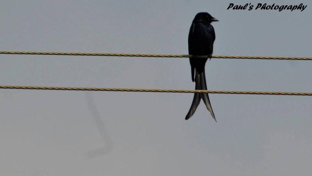 Black Bird by jabienpaul