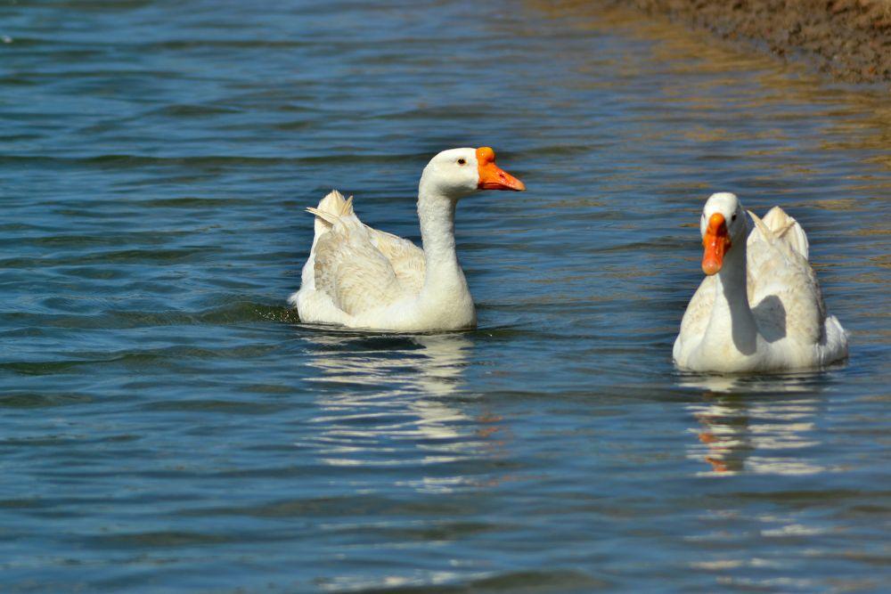 swan by jabienpaul