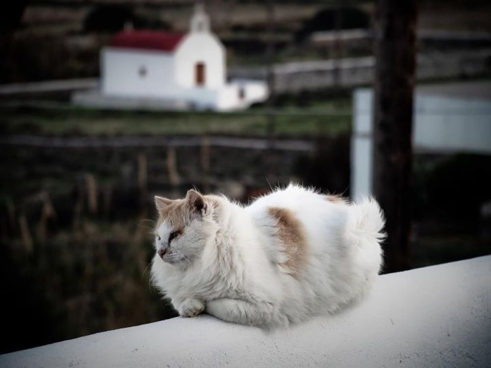 Mykonos stray cat by lambriana