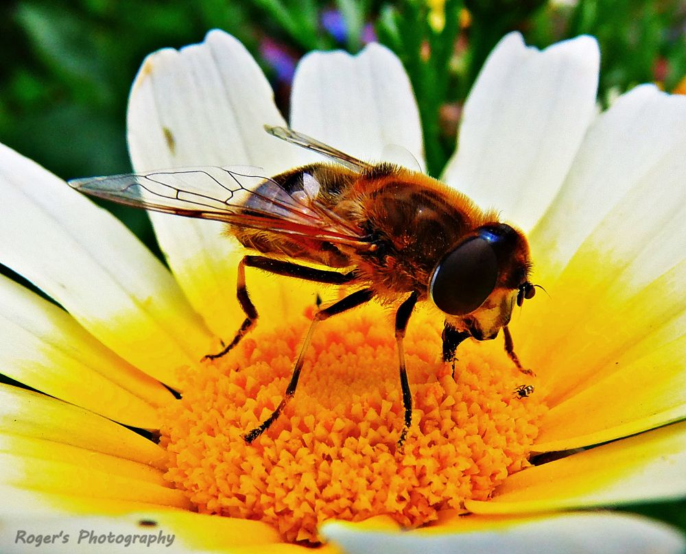 Bee by Roger Photography